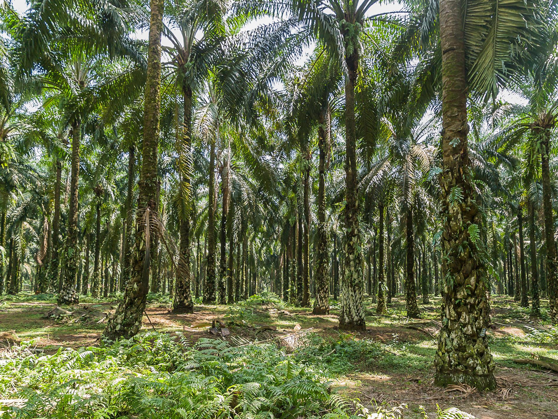 Cesta do Indonézie 2008 - Olejová palma